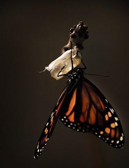 Farfalla che esce dal bozzo