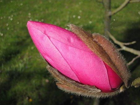 Gemma di magnolia